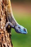 Lucertola intestata blu Immagine Stock Libera da Diritti