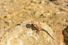 Lucertola mimetica alla foresta Petrified, Khorixas, Namibia immagini stock libere da diritti