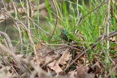 Lucertola nell'erba Immagini Stock