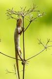 Lucertola orientale del giardino (camaleonte) 3 Immagine Stock