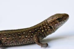 Lucertola, predatore, caccia, rettili, salamandra, pelletteria, caccia, pelle di problema, aspetto cambiante, parti crescenti del Immagine Stock