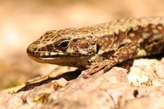 Lizzard. Ancient reptile varese Royalty Free Stock Photos