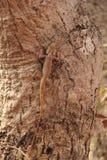 Lucertola selvaggia del giardino sull'albero Fotografia Stock