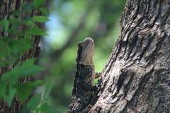 Lucertola su un albero Fotografie Stock Libere da Diritti