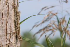 Lucertola su un albero Fotografia Stock