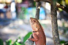 Lucertola su un albero, Tailandia fotografia stock