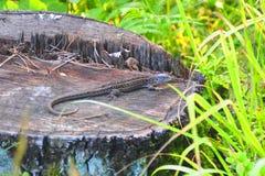 lucertola su un ceppo di albero vicino alla foresta sotto Mosca Immagini Stock