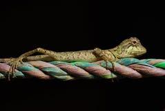 Lucertola su una corda colorata Immagini Stock