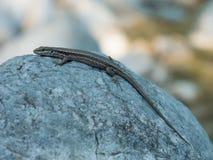 Lucertola su una roccia 02 Fotografia Stock