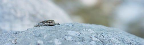 Lucertola su una roccia 04 Fotografie Stock