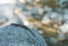 Lucertola su una roccia 03 Fotografia Stock Libera da Diritti
