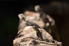 Lucertola su una roccia marrone Fotografie Stock Libere da Diritti