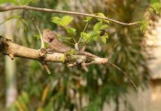 Lucertola sull'albero Fotografia Stock Libera da Diritti