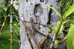 Lucertola sull'albero dalle Maldive Fotografia Stock