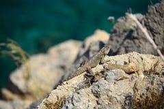 Lucertola sulla roccia Fotografie Stock