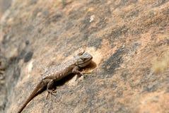Lucertola sulla roccia rossa dell'Utah Immagine Stock