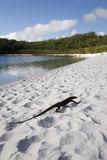 Lucertola sulla spiaggia Fotografia Stock
