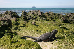 Lucertola sulle isole di Galapagos Immagini Stock Libere da Diritti