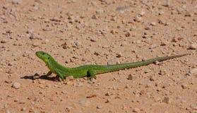 Lucertola verde Fotografie Stock