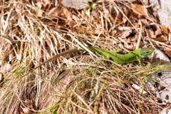 Lucertola verde Immagini Stock