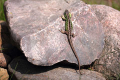 Lucertola verde Fotografie Stock Libere da Diritti