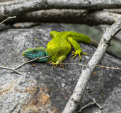 Lucertola verde Fotografia Stock Libera da Diritti