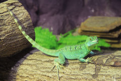 Lucertola verde del basilisco (plumifrons del Basiliscus) Immagini Stock