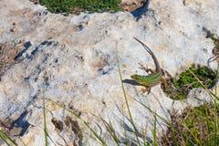 Lucertola verde della roccia sulla pietra fra l'erba immagine stock libera da diritti