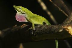 Lucertola verde di Anole fotografie stock libere da diritti