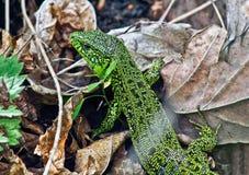 Lucertola verde di erba asciutta. Immagini Stock