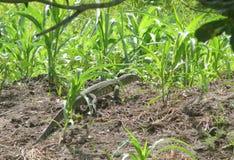 Lucertola verde enorme nell'erba. Fotografia Stock Libera da Diritti