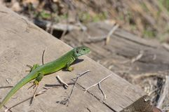 Lucertola verde europea che riscalda il suo corpo su un sole di aprile Immagine Stock