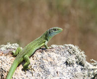 Lucertola verde su una roccia Fotografia Stock Libera da Diritti