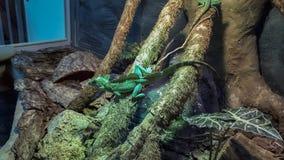 Lucertola verde sugli alberi immagine stock libera da diritti
