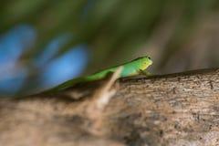 Lucertola verde sull'albero, isola di Digue della La, Seychelles immagini stock libere da diritti