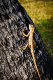 Lucertole, camaleonte, camaleonte sull'albero Immagini Stock Libere da Diritti