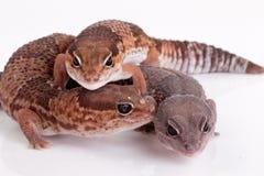 Lucertole del Gecko Fotografie Stock Libere da Diritti