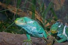 Lucertole verdi delle iguane   immagini stock libere da diritti