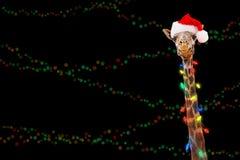 Luces de la Navidad de la jirafa del parque zoológico que llevan fotografía de archivo libre de regalías