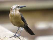 Lucestic Grackle Stock Photo