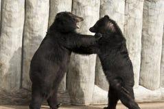 Lucha americana del oso negro Foto de archivo