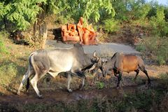 Lucha de Bull Fotos de archivo