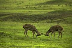Lucha de Deers imagenes de archivo