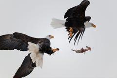 Lucha de Eagles calvo en aire Fotografía de archivo libre de regalías