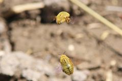 Lucha de la abeja - rápido y furioso estupendos Imagen de archivo libre de regalías
