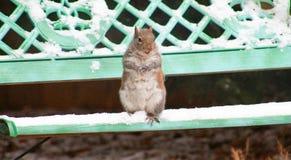 Lucha de la bola de nieve de la ardilla Imagen de archivo libre de regalías