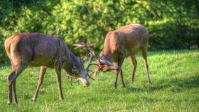 Lucha de la cornamenta de los machos de los ciervos rojos durante la estación de la rodera foto de archivo libre de regalías