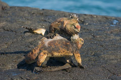 Lucha de la iguana Fotografía de archivo