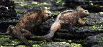 Lucha de la iguana de marina de los varones. fotografía de archivo
