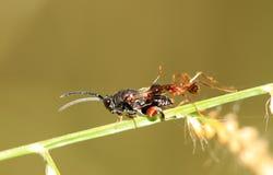 Lucha de la mosca y de la hormiga Imagen de archivo libre de regalías